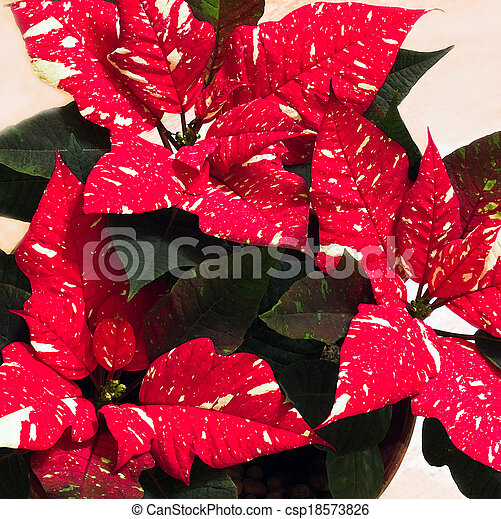White speckled Poinsettia flowers - csp18573826