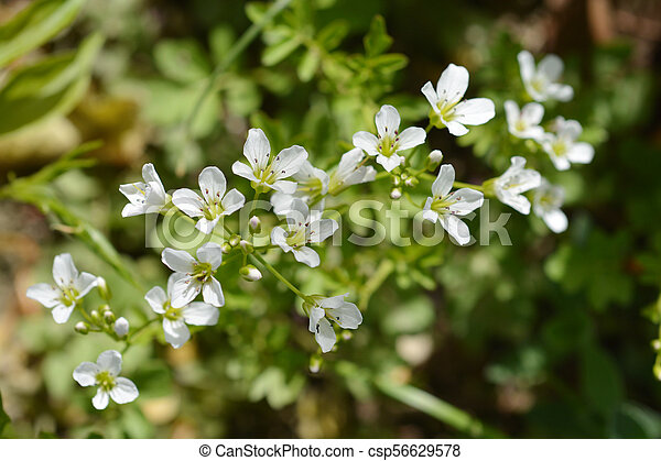 White spring flowers close up of white spring flowers latin name white spring flowers csp56629578 mightylinksfo
