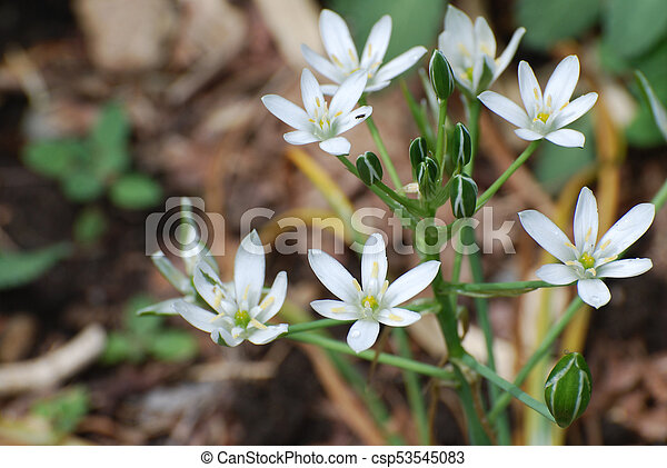 White star of bethlehem flowers in a garden pretty white white star of bethlehem flowers in a garden csp53545083 mightylinksfo