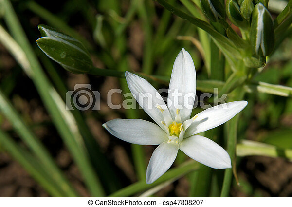 White star shaped flowers the closeup of bright flower stock white star shaped flowers csp47808207 mightylinksfo