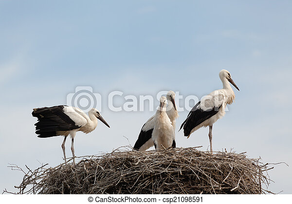 white stork baby birds in a nest the white stork young baby