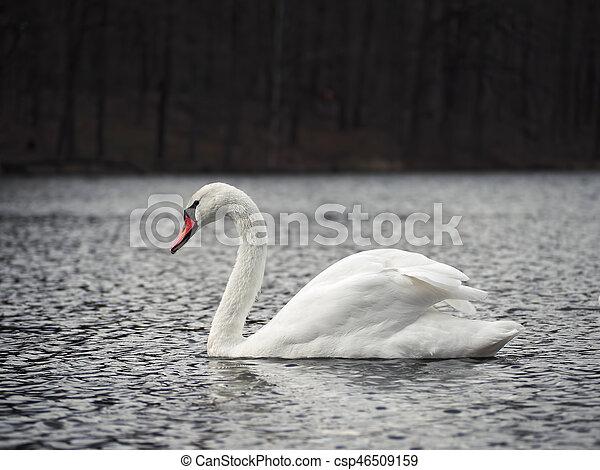 White swan at the lake calm - csp46509159