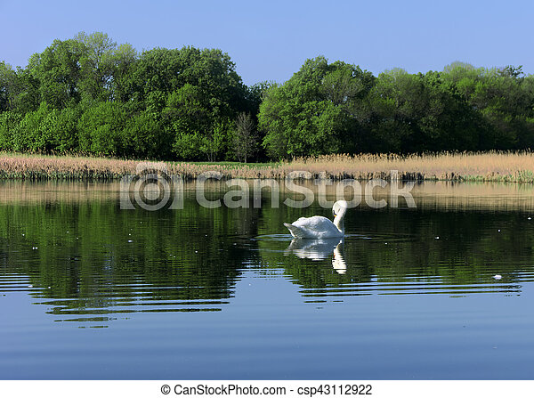 White swan at the lake near the forest - csp43112922