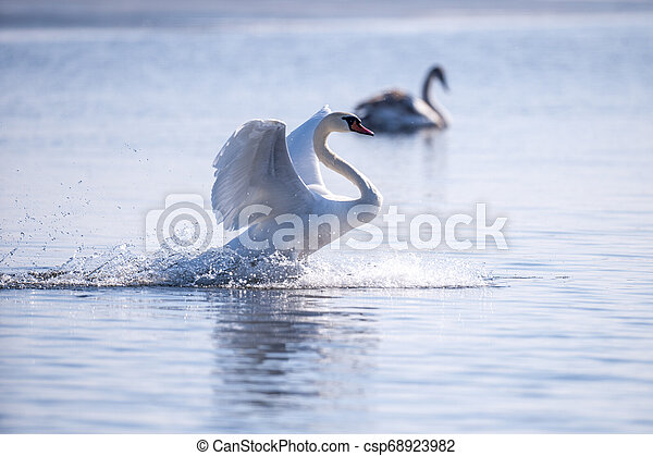 White Swan floats on water surface - csp68923982