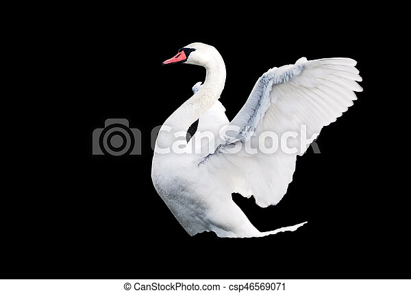 White swan landing at the lake isolated at black - csp46569071