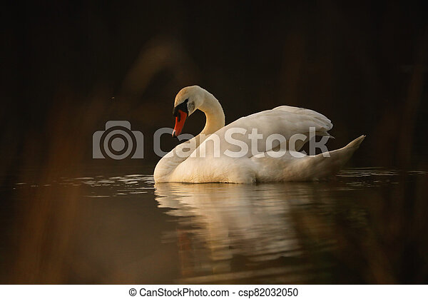 White swan on lake in the evening - csp82032050