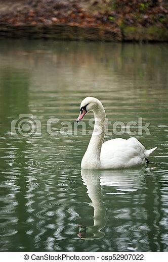 White swan portrait. - csp52907022