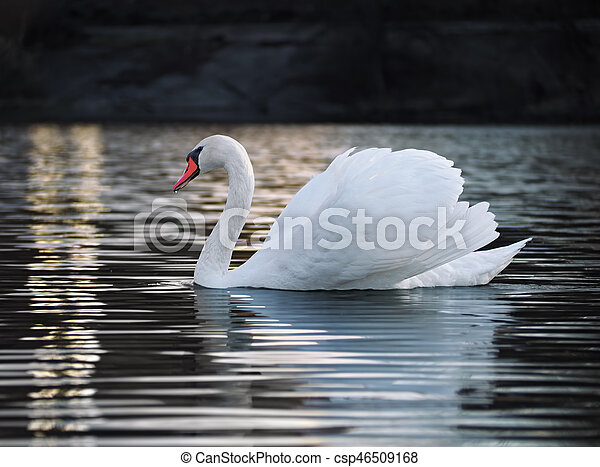 White swan posing at the lake young and beautiful - csp46509168