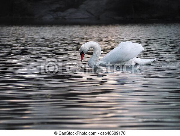 White swan posing at the water - csp46509170