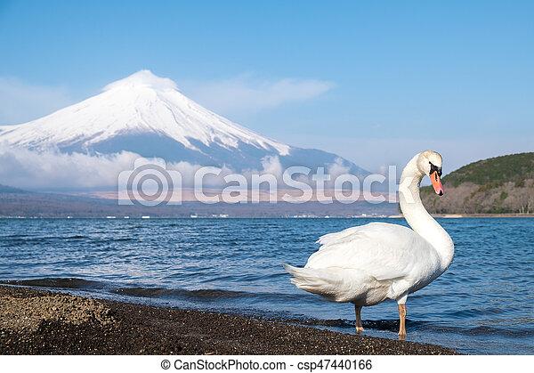 White swan with Mt.Fuji view at Yamanakako lake, Yamanashi, Japan. - csp47440166