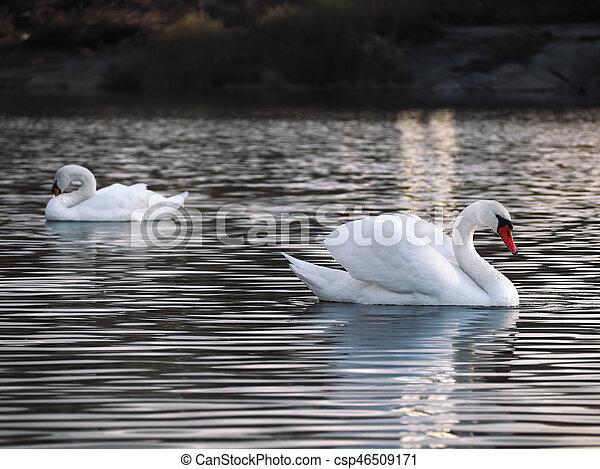White swans posing at the lake - csp46509171