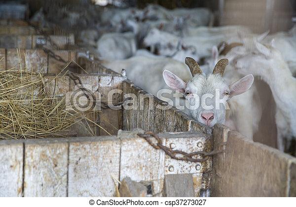 White Swiss Saanen goats on the farm
