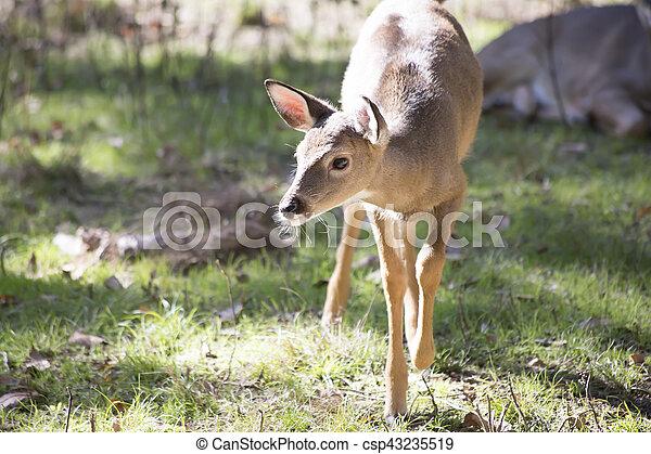 white tailed deer doe odocoileus virginianus doe walking carefully