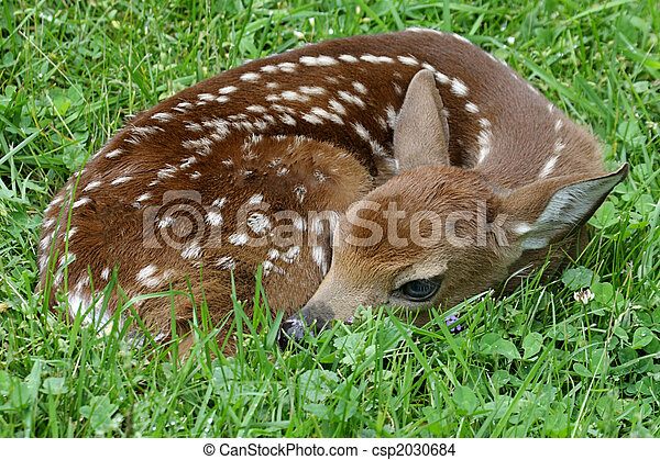 White-tailed Deer Fawn - csp2030684