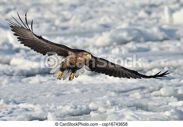 White-tailed Sea Eagle flying above the pack ice. - csp16743658