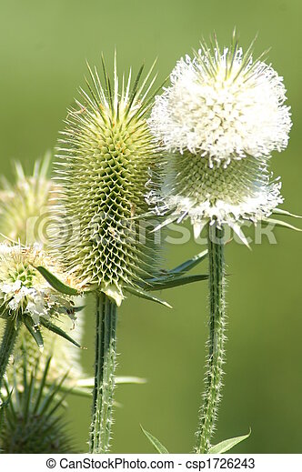 White thistle closeup of a white thistle white thistle csp1726243 mightylinksfo