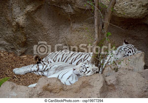 White tiger  - csp19977294