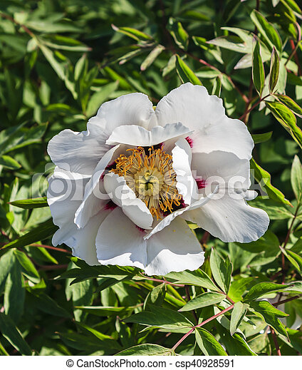 White Tree Peony Flower On A Background Of Green Leaves Large