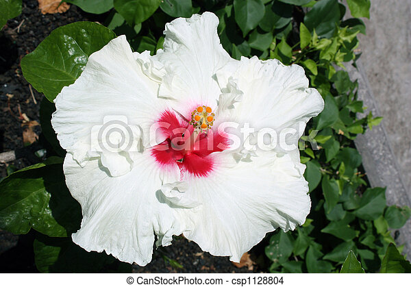 White Tropical Hibiscus White Color Flower A Type Of Tropical