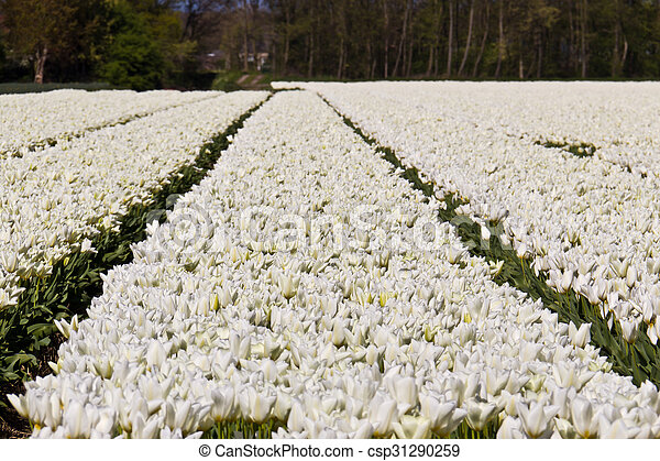 White tulip flowers growing on a farm in Netherlands - csp31290259
