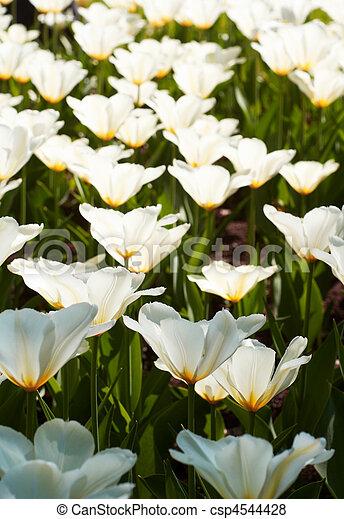 White tulips. Flower background. - csp4544428