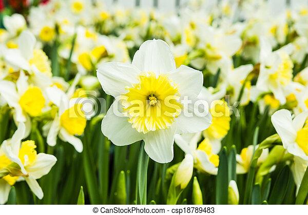 White tulips - csp18789483