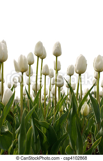 white tulips - csp4102868