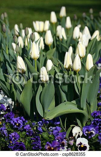 white tulips - csp8628355