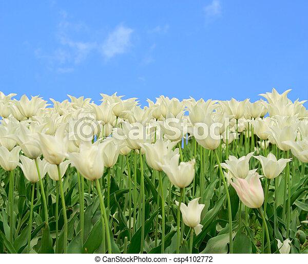 white tulips - csp4102772