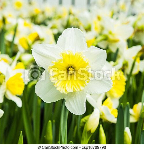White tulips - csp18789798