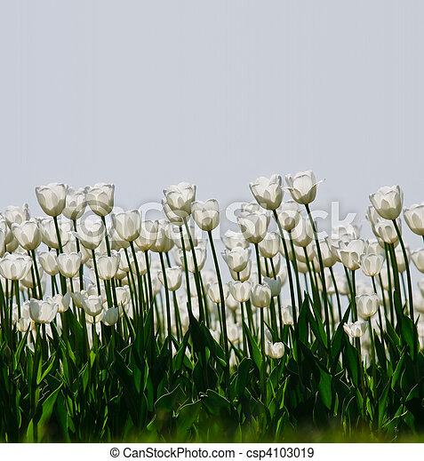 white tulips - csp4103019