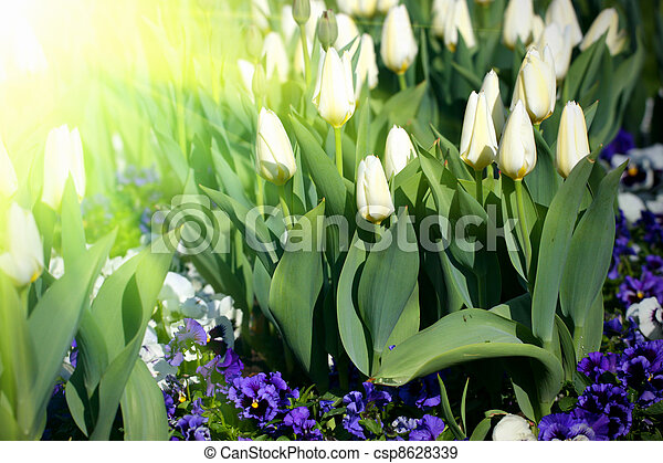 white tulips - csp8628339