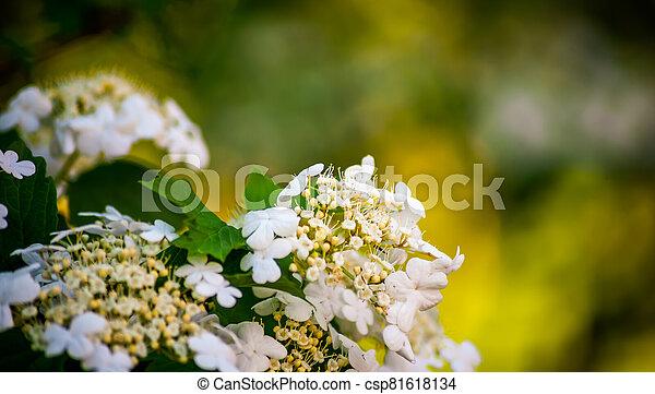 White viburnum flowers in a spring park - csp81618134
