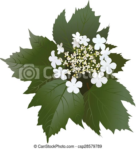 White viburnum flowers with leaves and buds - csp28579789