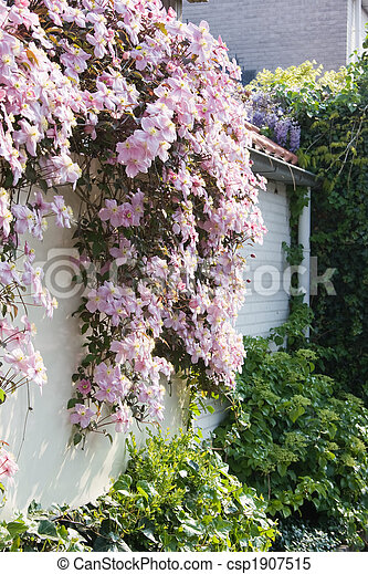 White wall with clematis in spring white wall with pink flowering white wall with clematis in spring csp1907515 mightylinksfo