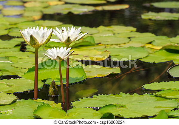 White Water Lily Blooming in Sunshine Day, Tranquil Nature - csp16263224