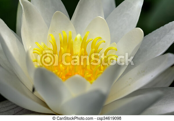 White water lily. Flower. - csp34619098
