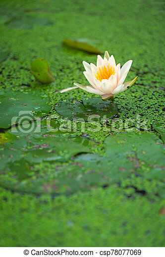 White water lily growing in a pond - csp78077069