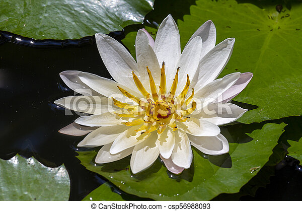 White water lily on the lake . Nymphaea alba - csp56988093