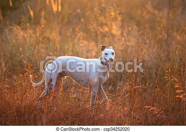 white whippet dog - csp34252020