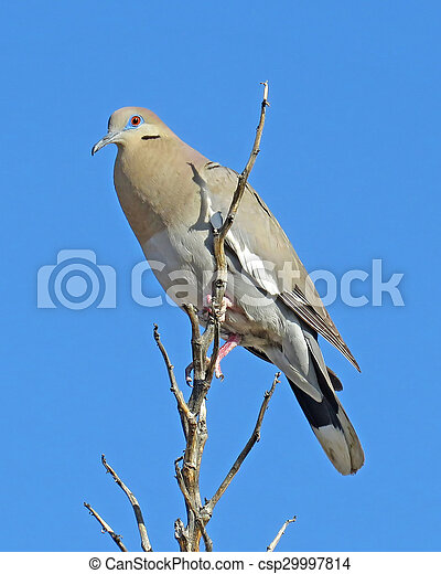 White-winged Dove 1 - csp29997814