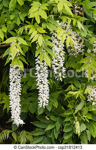 Close Up Of White Wisteria Flowers And Leaves