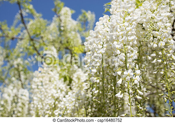 White Wisteria Flowers Full Blooming White Wisteria Flowers All