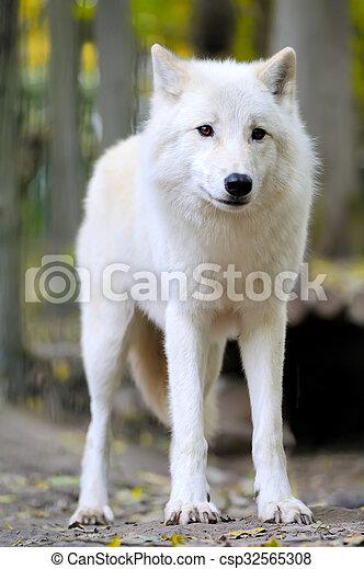 White wolf in forest - csp32565308