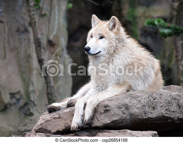 White Wolf on stone - csp26854168