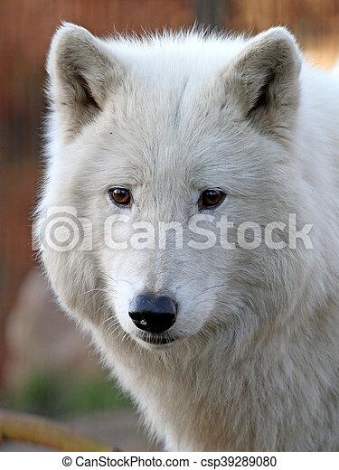 White wolf - csp39289080