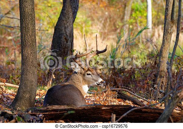 Whitetail Deer Buck - csp16729576