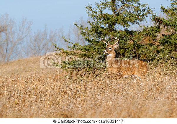 Whitetail Deer Buck - csp16821417