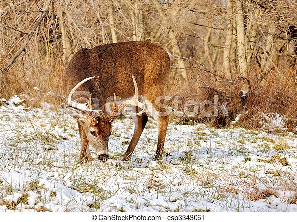 Whitetail Deer Buck - csp3343061
