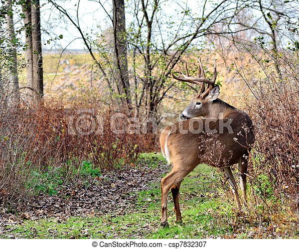 Whitetail Deer Buck - csp7832307